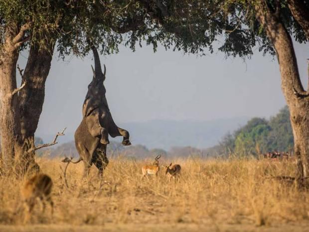 zambia_elephants