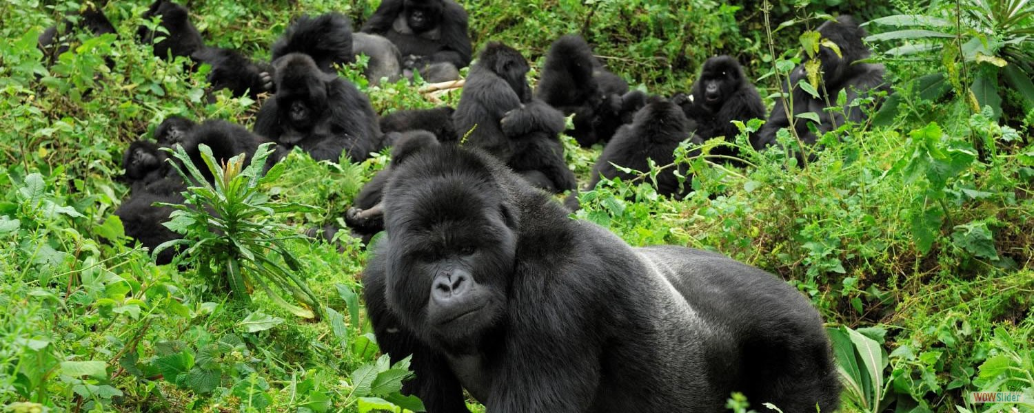 Mountain Gorilla View